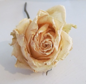 cropped rose